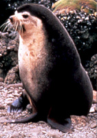 Subantarctic Fur Seal Image