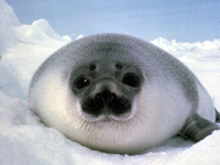 Hooded Seal Image