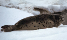 Spotted Seal Image