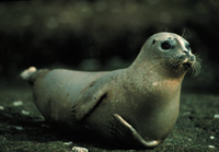 Harbour Seal Image